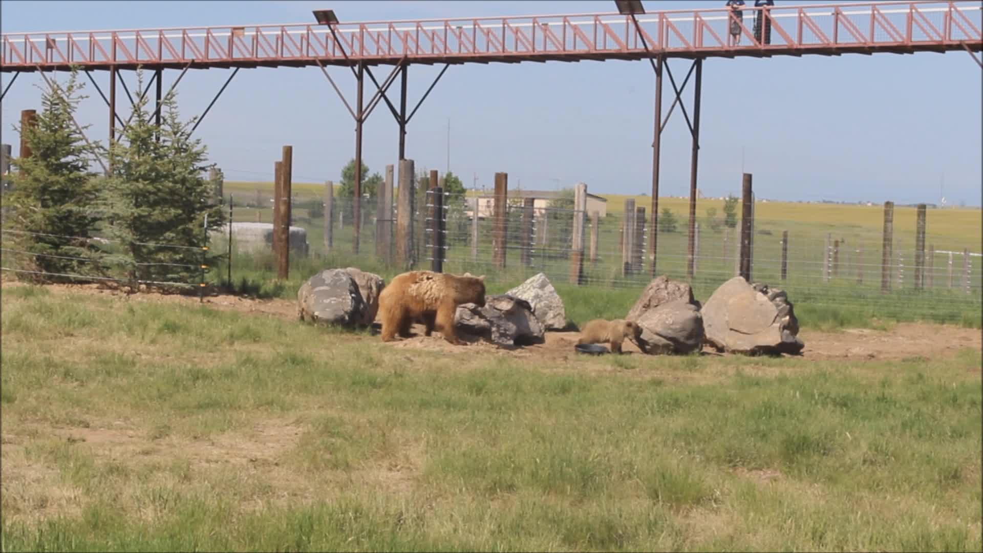 Rescued Grizzly Bears play in new habitat